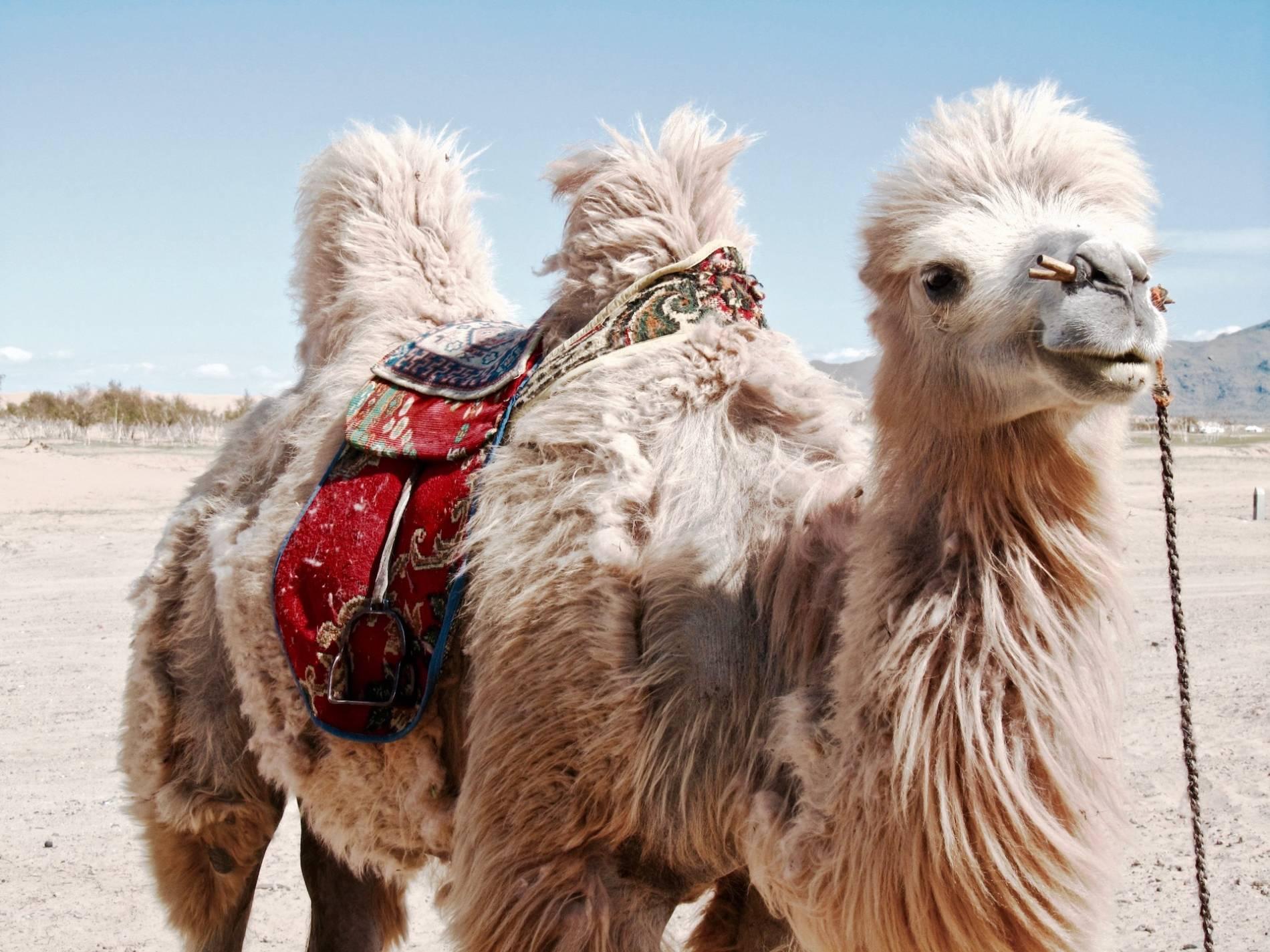 chameaux blanc mongolie