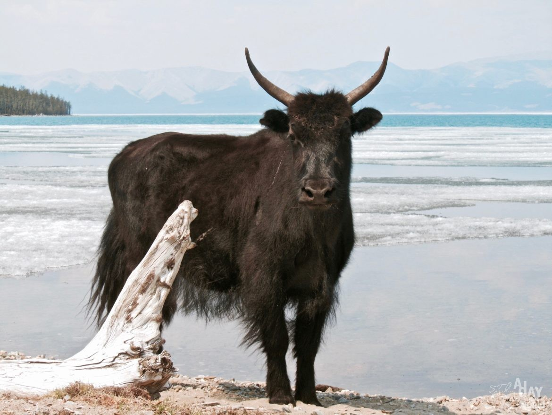 yak mongolie