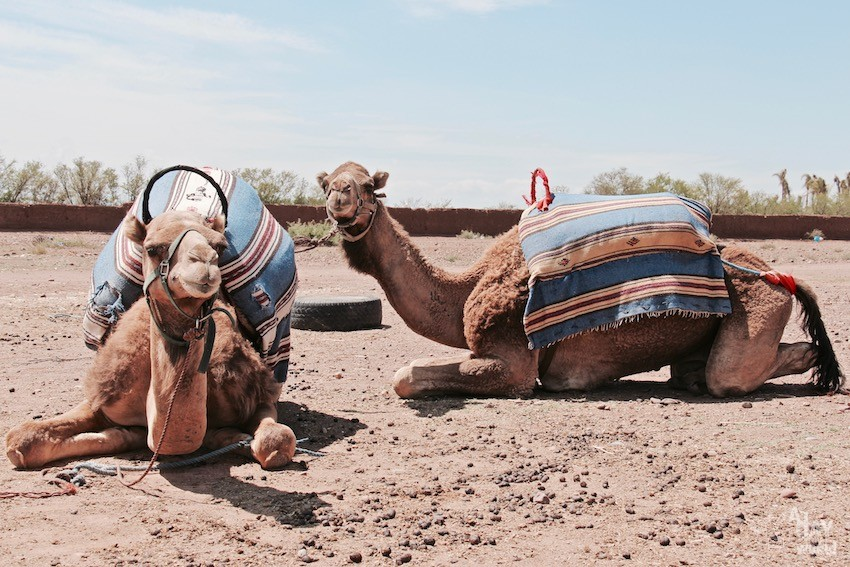 chameaux-marrakech-promenade