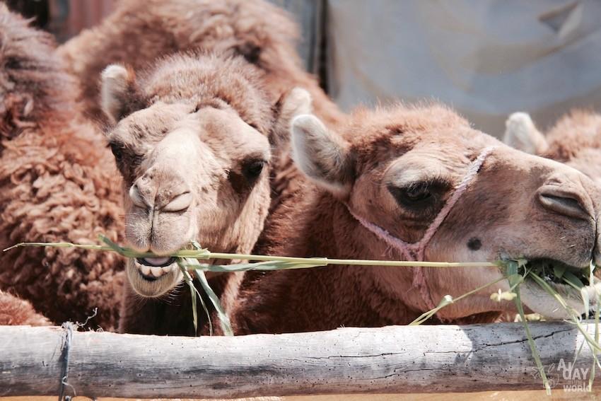 chameaux-marrakech