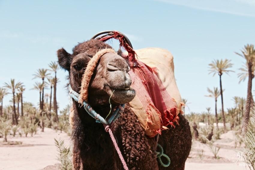 chameaux-palmeraie-marrakech