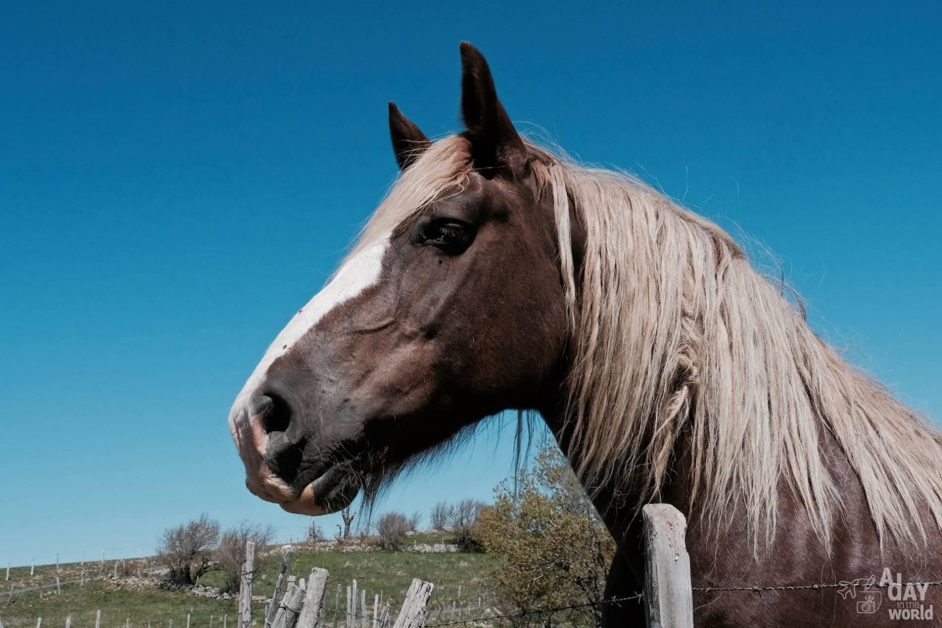 cheval lozere