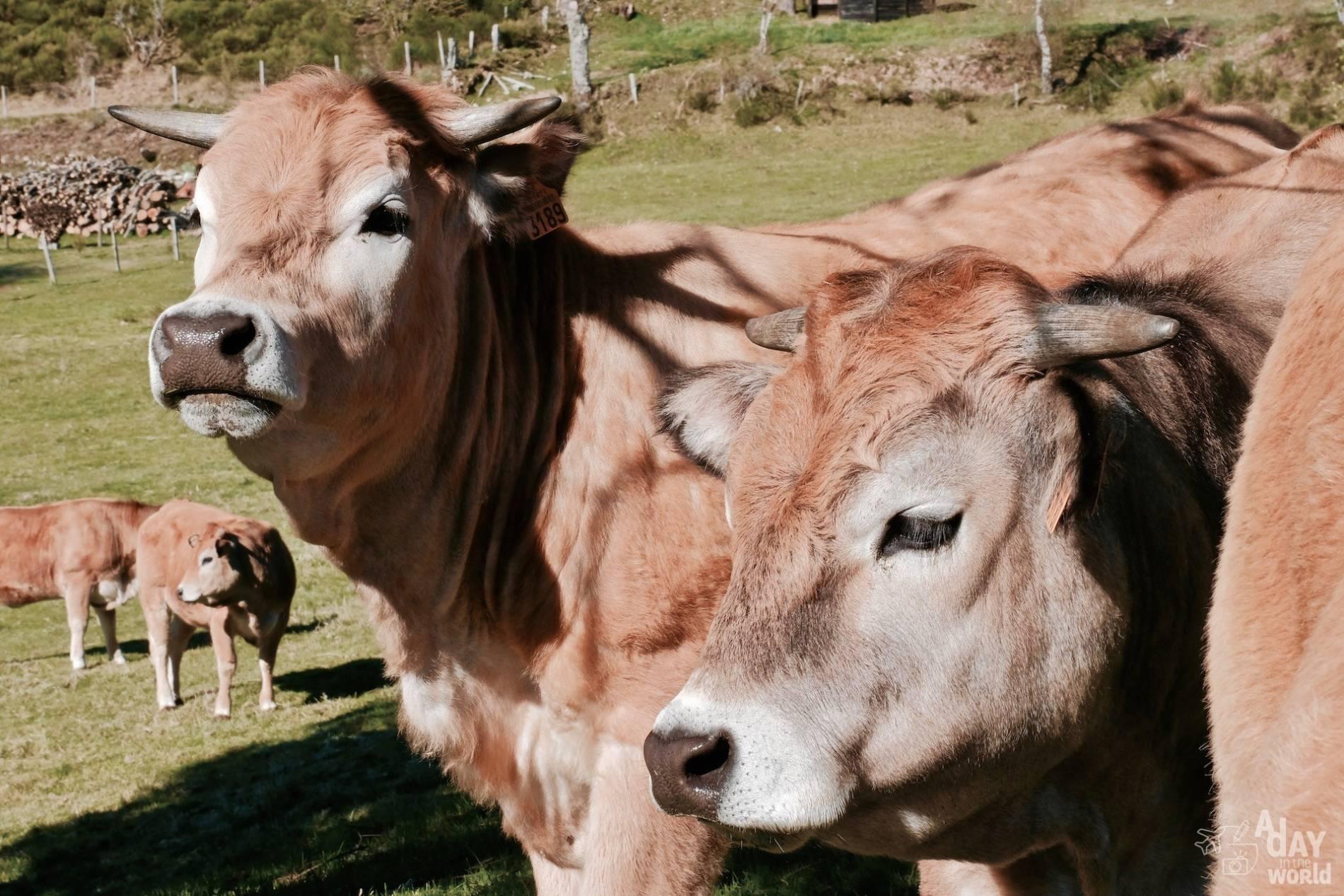 vache lozere 3