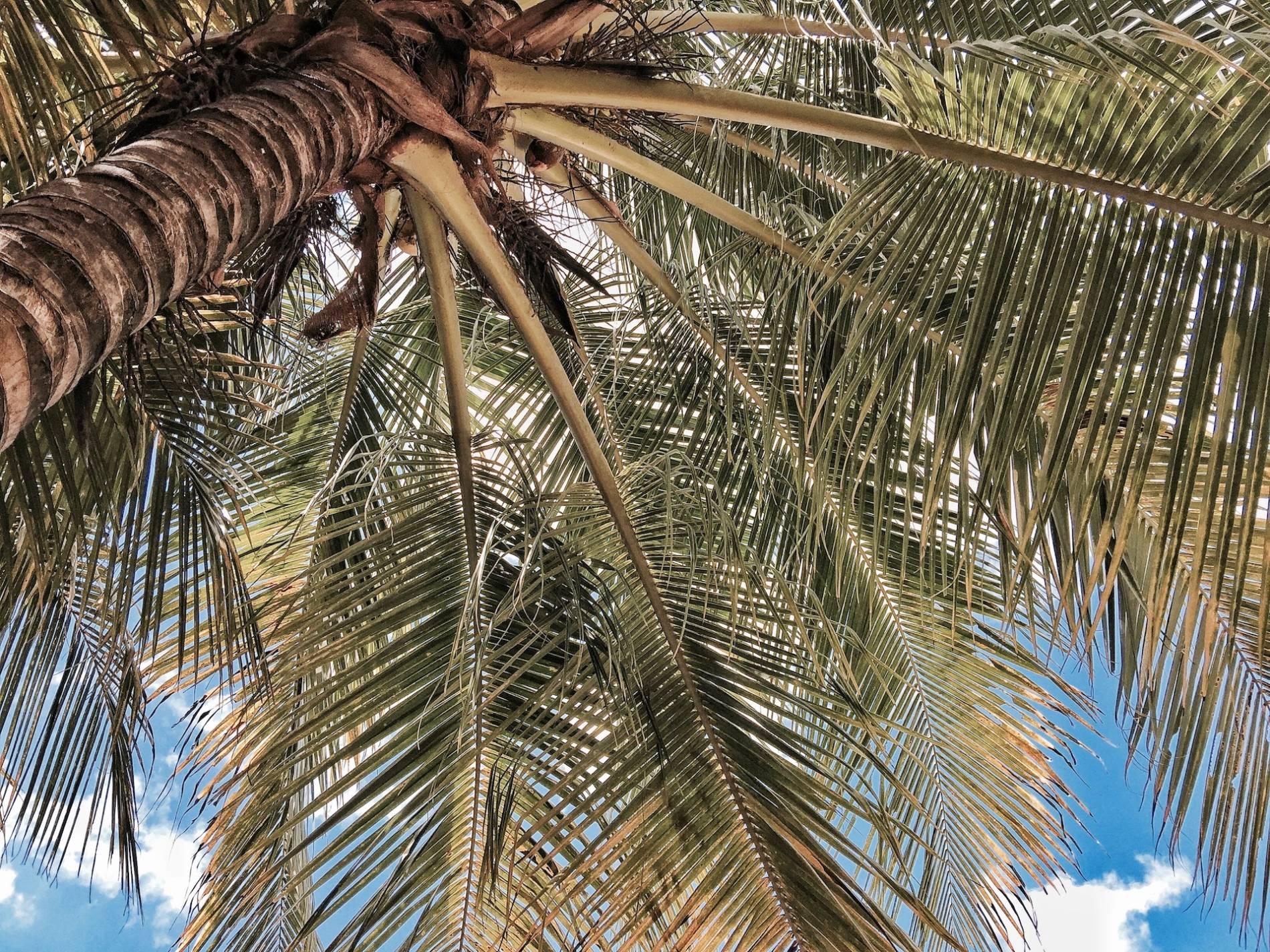 palmier bacalar