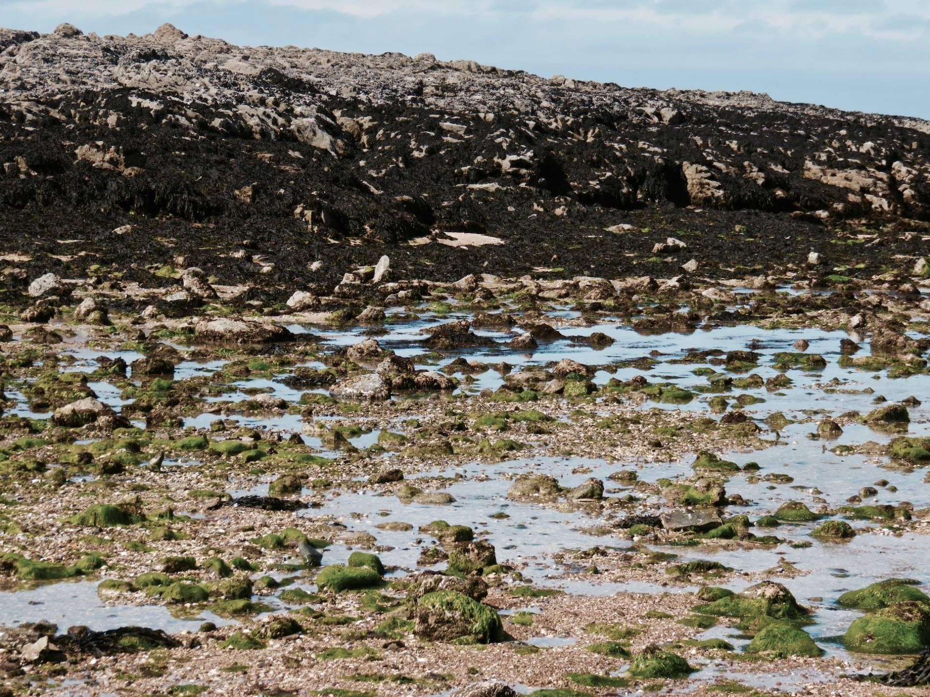 marée basse algue