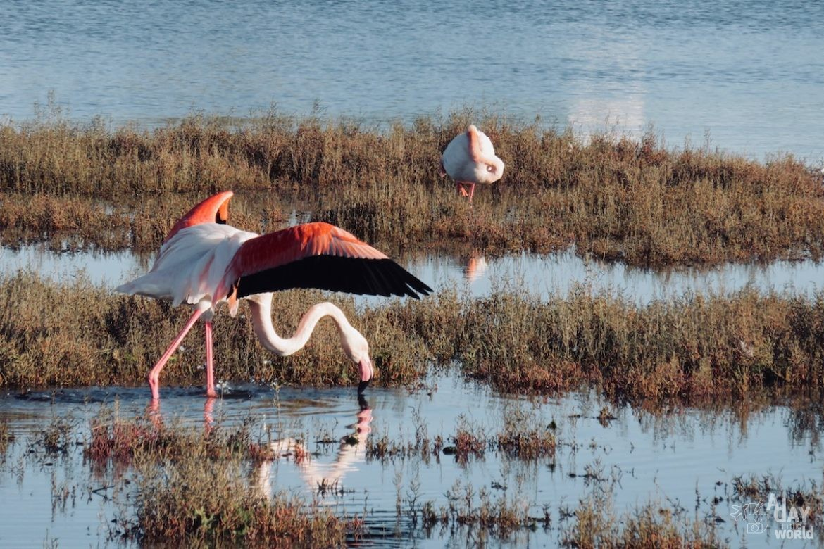 flamants-roses-camargue