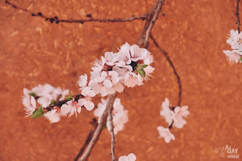 fleur-abyaneh-iran