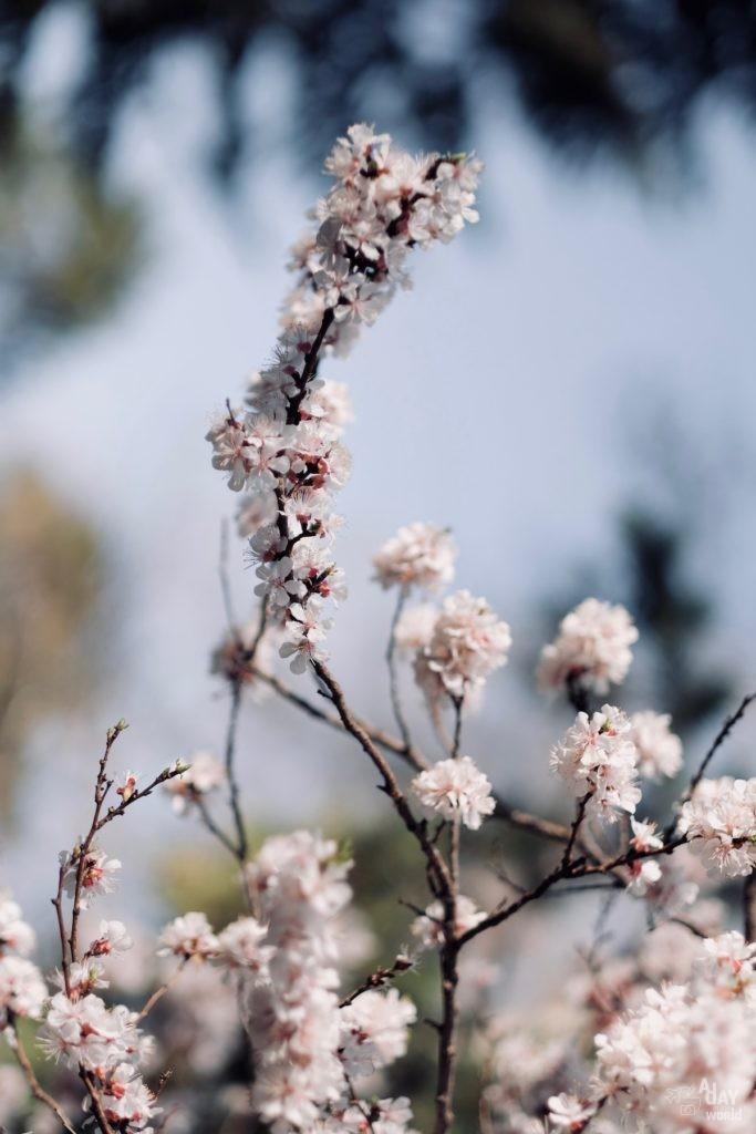 fleur-iran