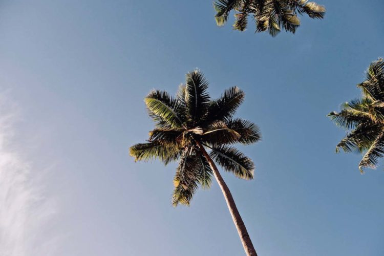 palmier-republique-dominicaine
