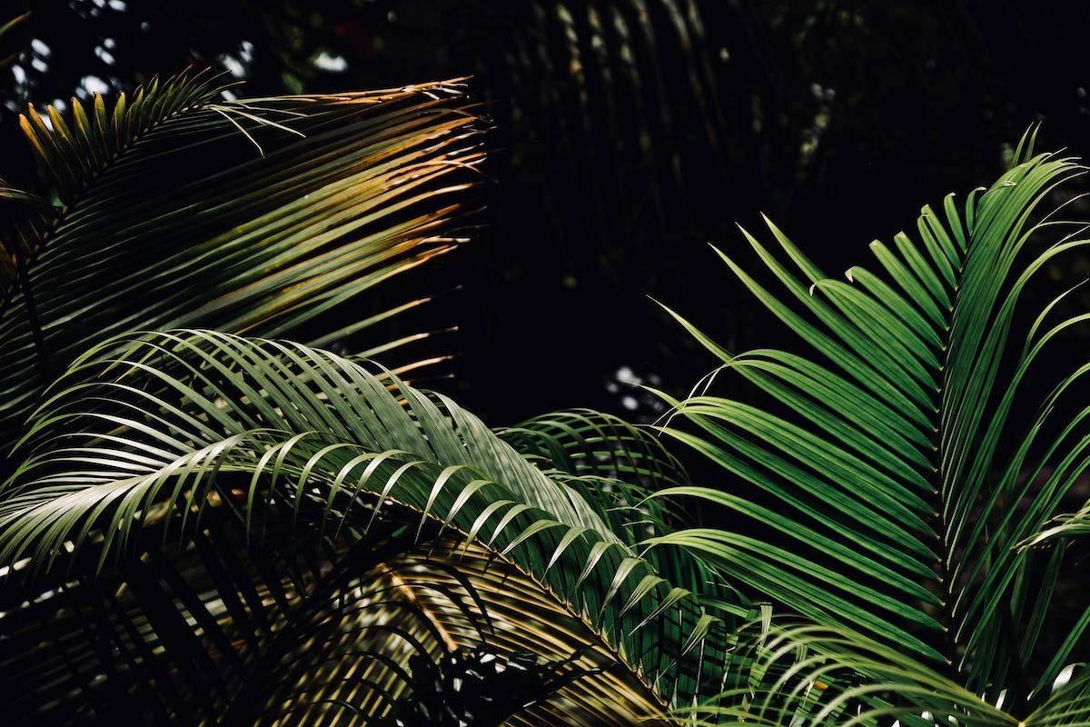 palmier-v-samana